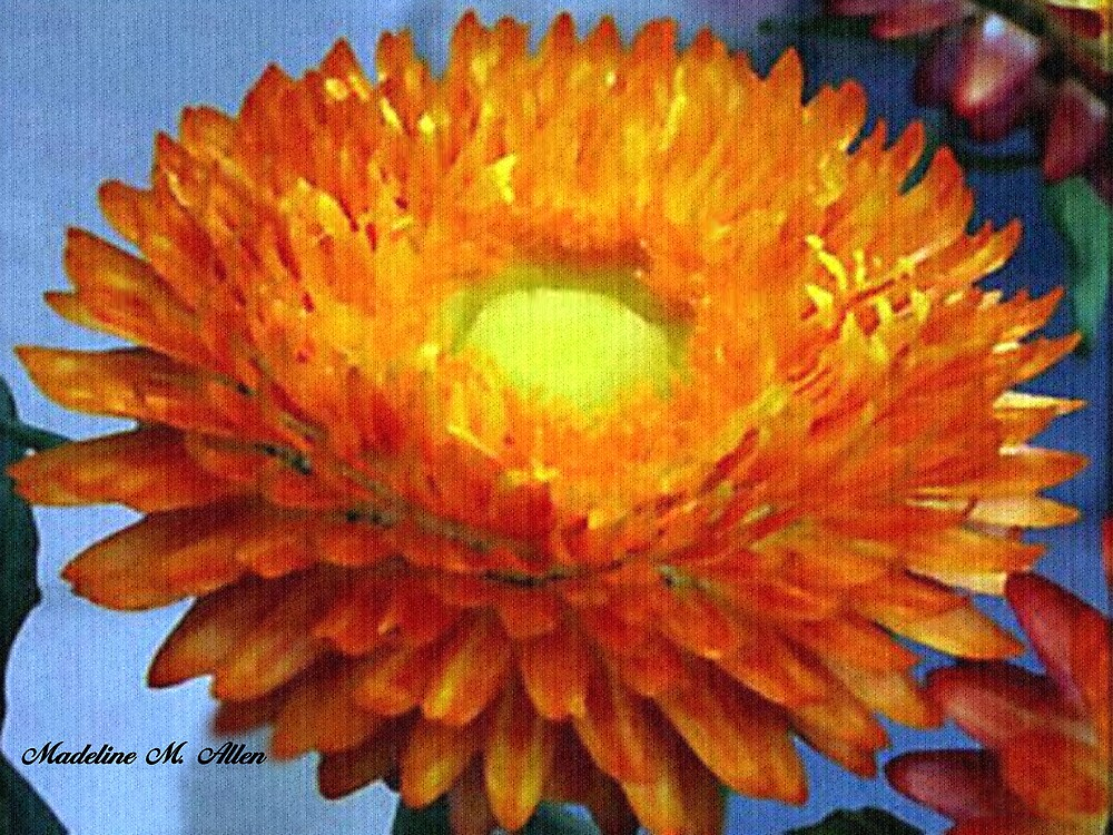 Painted Strawflower by Madeline M  Allen