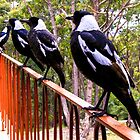 Four magpies and a  Kookaburra by indiafrank