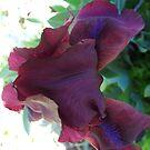 Regal Iris by MarianBendeth