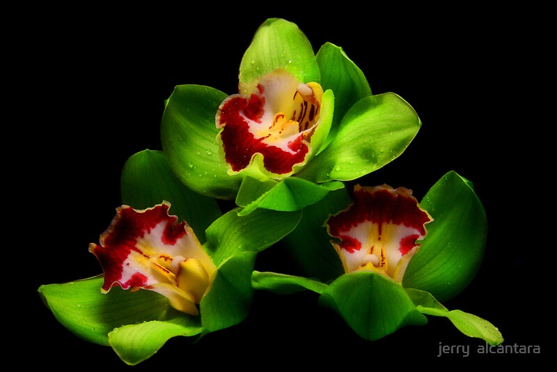Green Orchids Photographic Prints By Jerry Alcantara