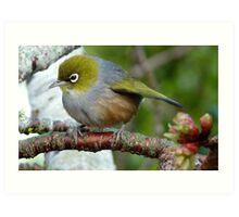 In a Flutter!- Silverye - NZ - Southland Art Print