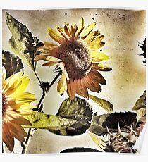 Penticton Sunflower Poster
