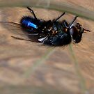 Upside down - Blue bottle Fly - NZ - Southland by AndreaEL