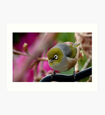 Are you Back again with the camera? - Silvereye - NZ Art Print