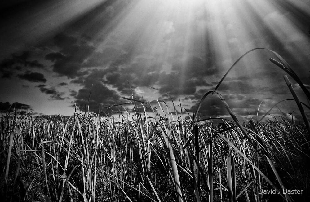 Swamp Reeds by David J Baster