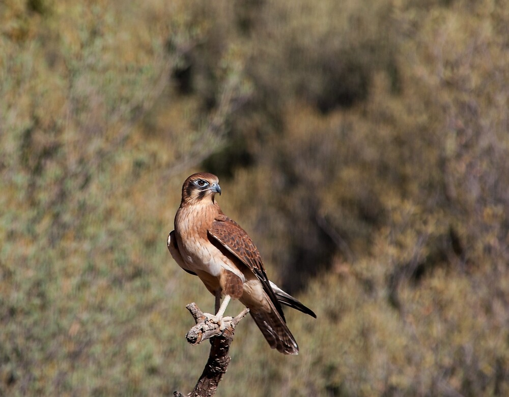 Brown Falcon - Alice Springs Desert Park - Alice Springs by David Blackwell