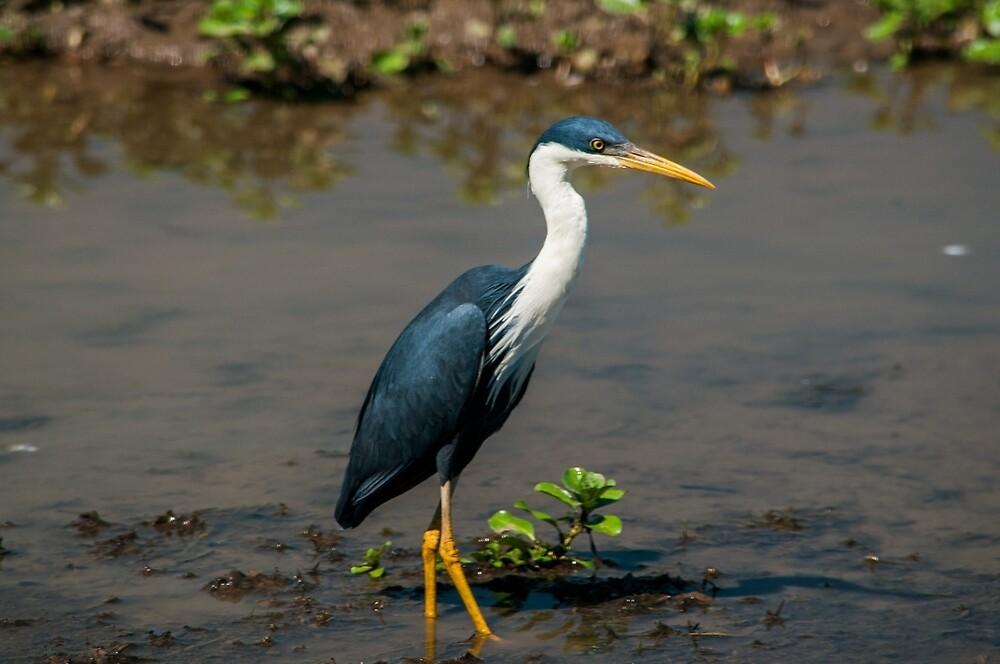 Pied Heron - Yellow Water Billabong - Kakadu National Park by David Blackwell
