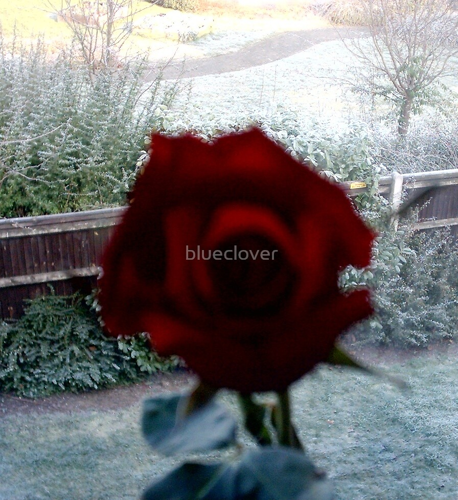 Red Rose against a Frosty view from a window by blueclover