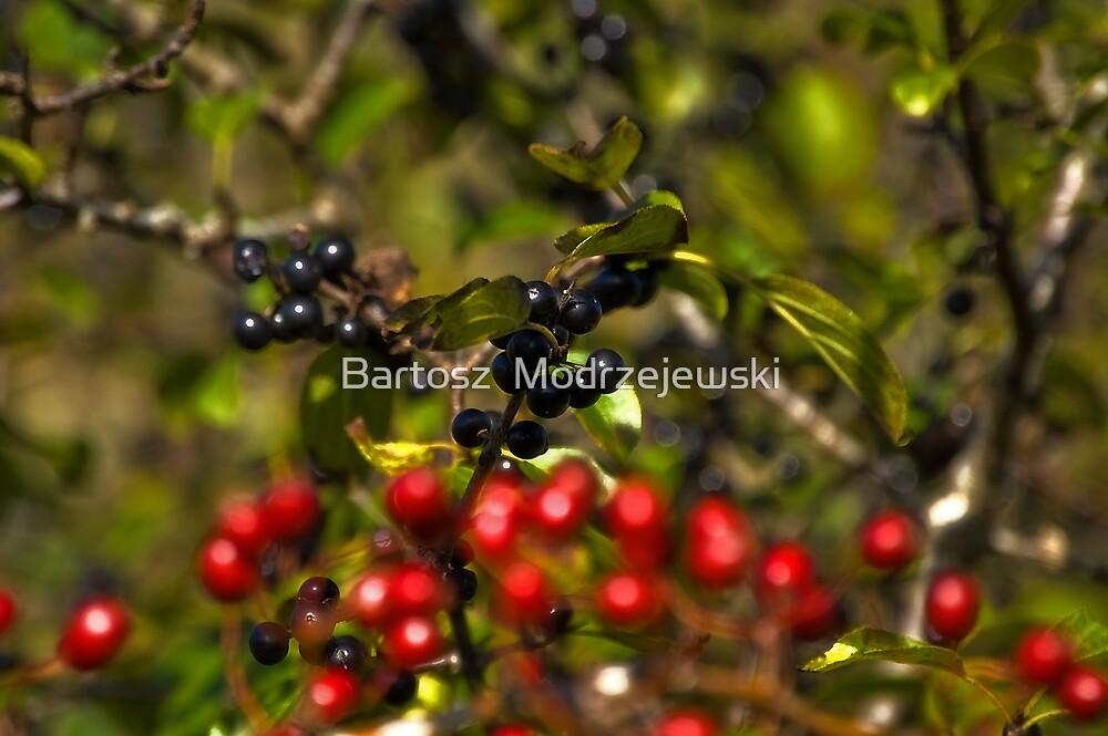 Black-Red Berry  by Bartosz  Modrzejewski