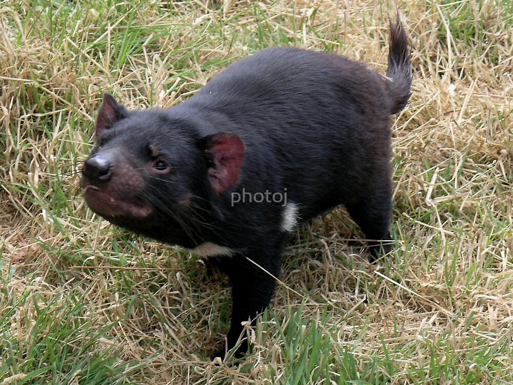 photoj Tas Wingfarm Park, Tassie Devil by photoj