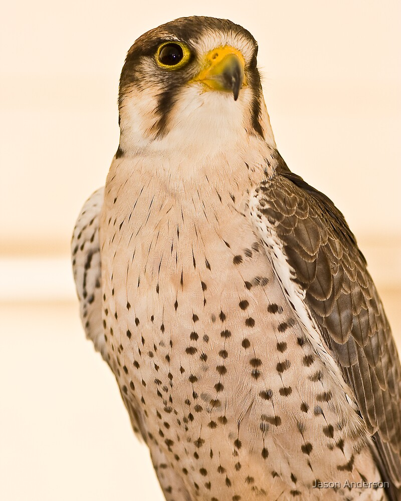 Perched Falcon by Jason Anderson