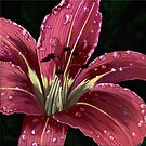 After The Rain - Painting of raindrops on Lily  by LindaAppleArt