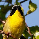 common yellowthroat  by Dennis Cheeseman