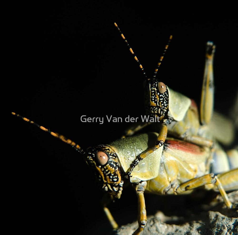 Mating Grasshoppers by Gerry Van der Walt