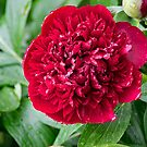 Red Peony Flower by Robert Gipson