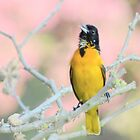 Oriole Singing... by Laurie Minor