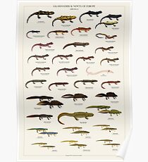 Salamanders & Newts of Europe Poster
