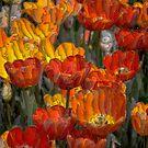 USA. Pennsylvania. Philadelphia Flower Show 2017. Field of Tulips. by vadim19