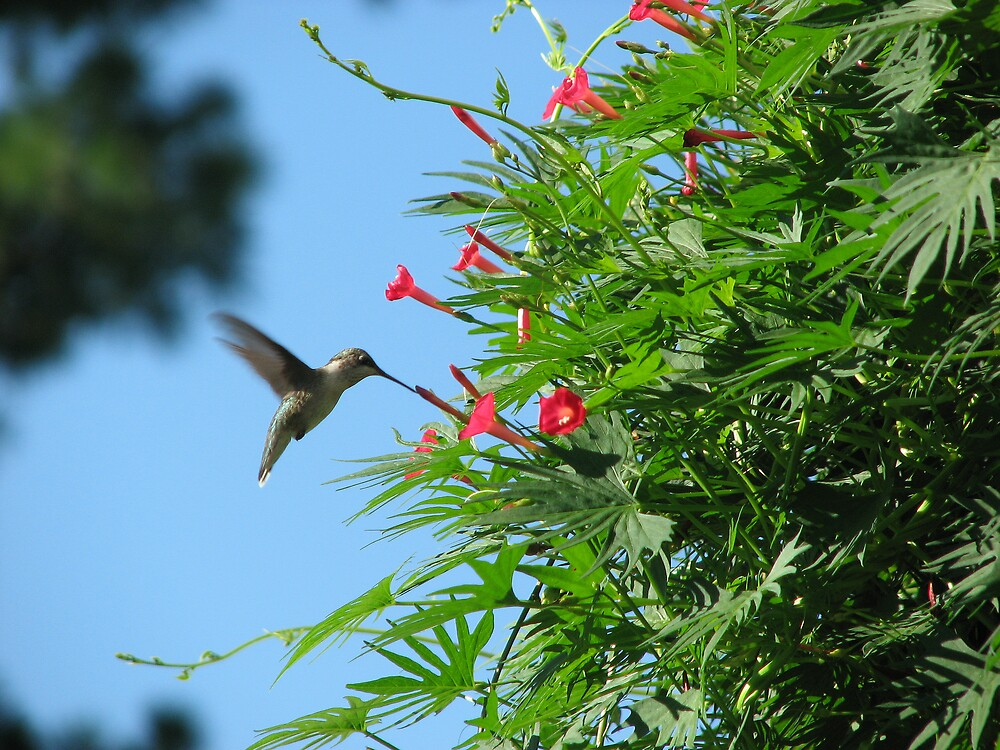 Hummingbird on Red Flower by staffords