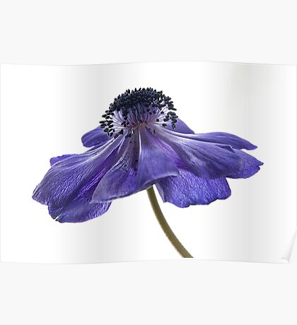 Blue Anemone Poster
