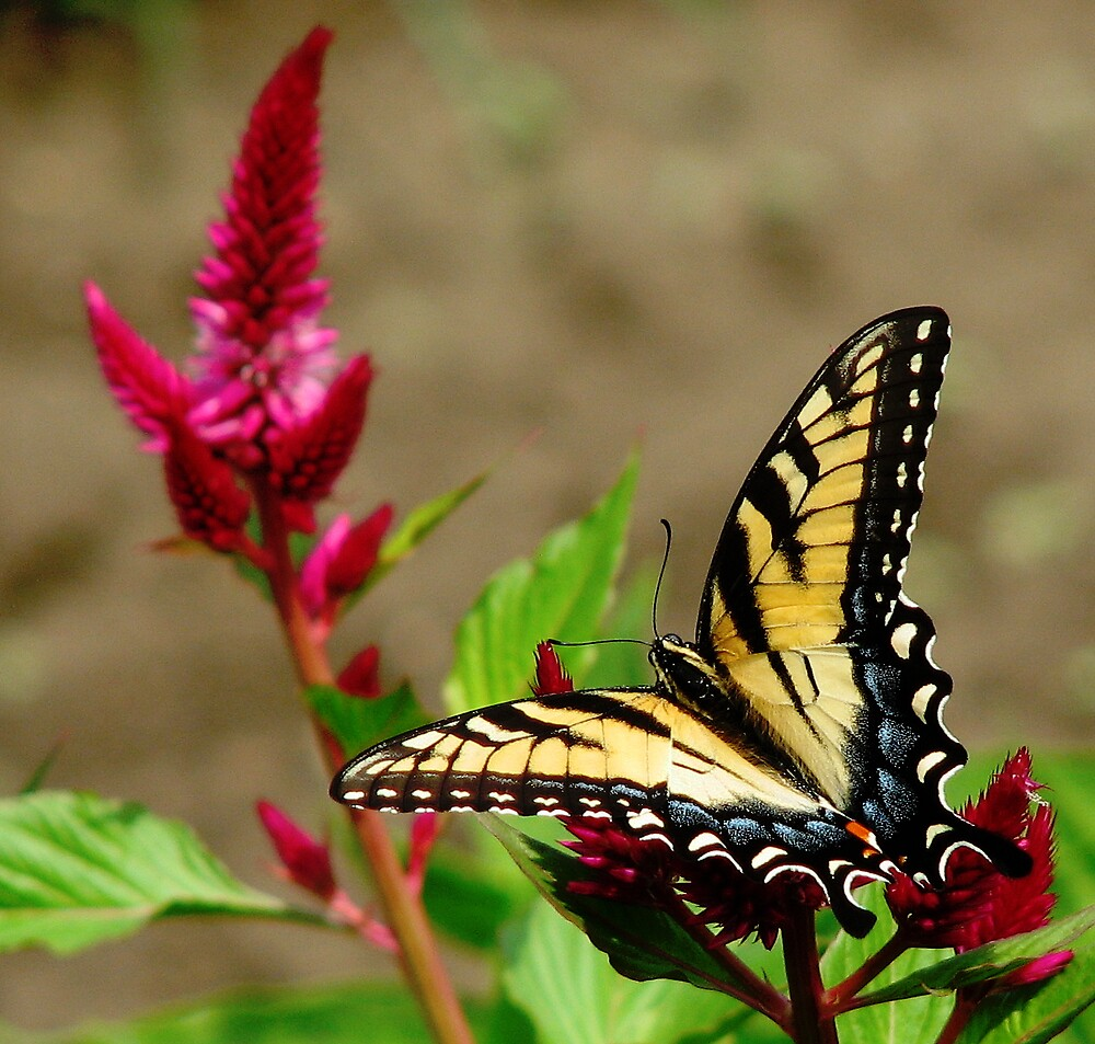 Yellow Swallowtail on Cockscomb by staffords
