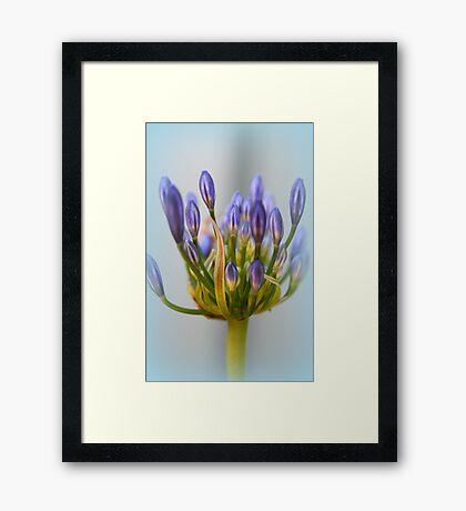 Agapanthus Flower Framed Print
