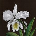 White Orchid by cyndikingsley