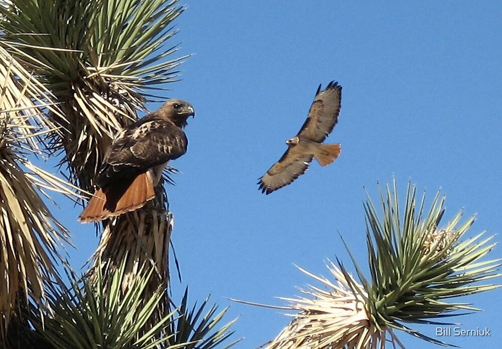 Redtail Hawks by Bill Serniuk