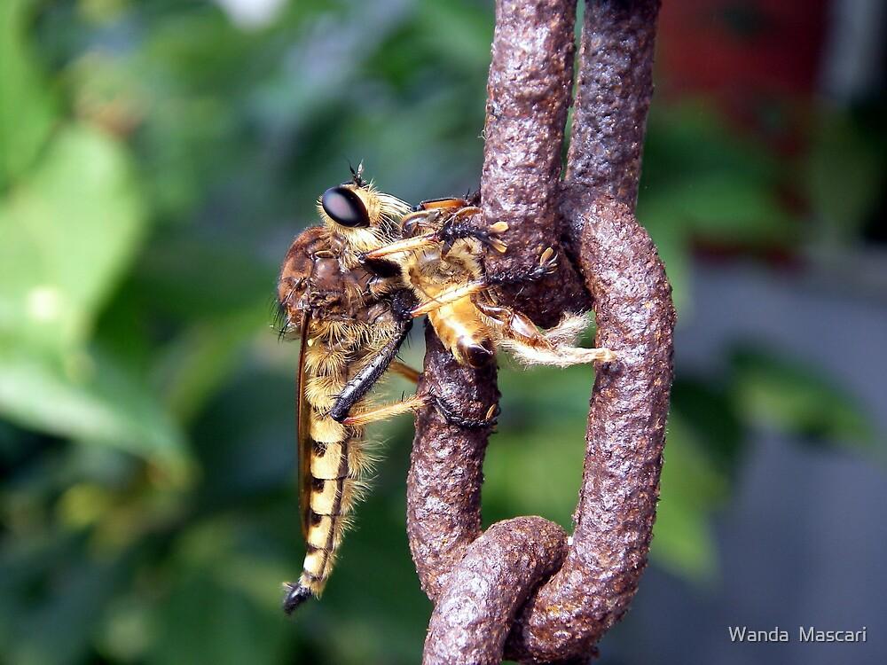 Robber Fly With Honeybee by Wanda  Mascari
