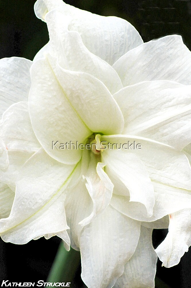 White Amaryllis by Kathleen Struckle
