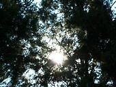 sun thru trees by potsie75