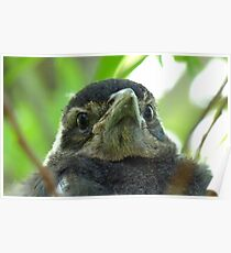 What on Earth are you! - Baby Magpie - NZ - Southland Poster