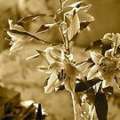 Lilies in sepia by Margaret Stanton