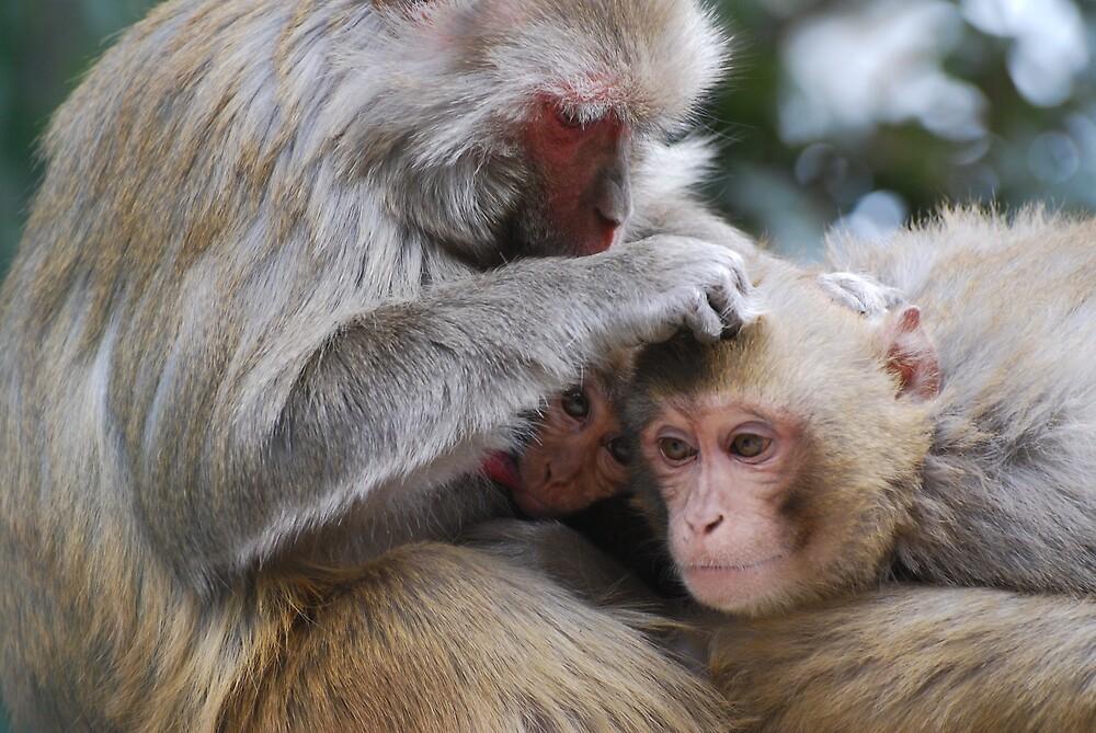 Monkeys in Shimla by Mottoy