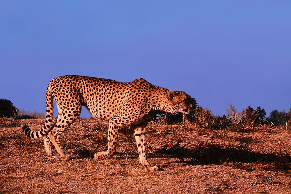 Cheetah on the Hunt by Ken Fortie