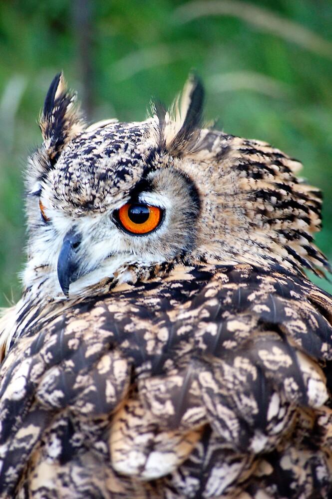 Long Eared Owl by Alistair Balharrie