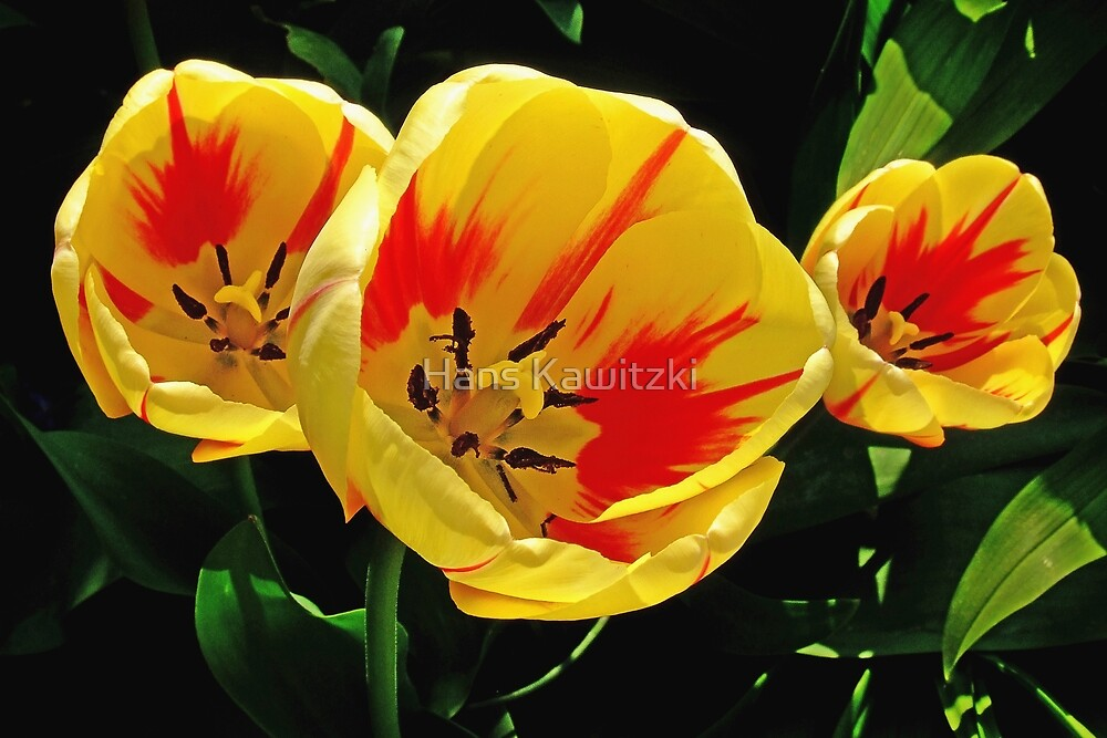 1362 Yellow Tulips by Hans Kawitzki