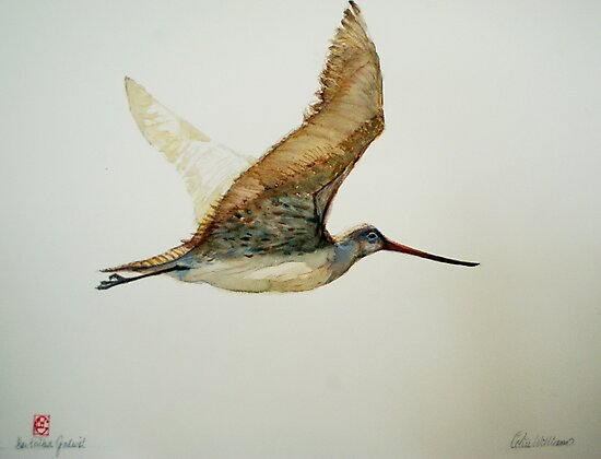 BAR-TAILED GODWIT - MIRACLE MARATHON MIGRATOR by ColinWilliams