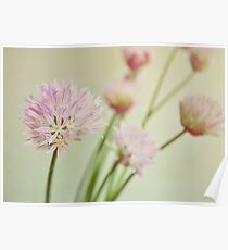 Chives in flower. Poster