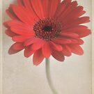 Pretty red daisy. by Lyn  Randle