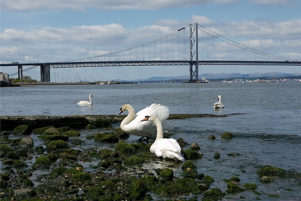 Swans on the River Forth by scotlandi