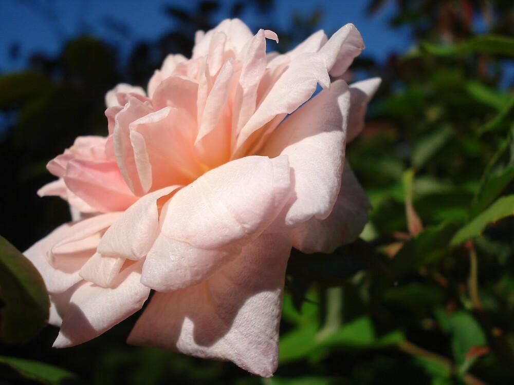 pink rose b by kveta