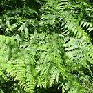 Ferns in the woods by Ana Belaj