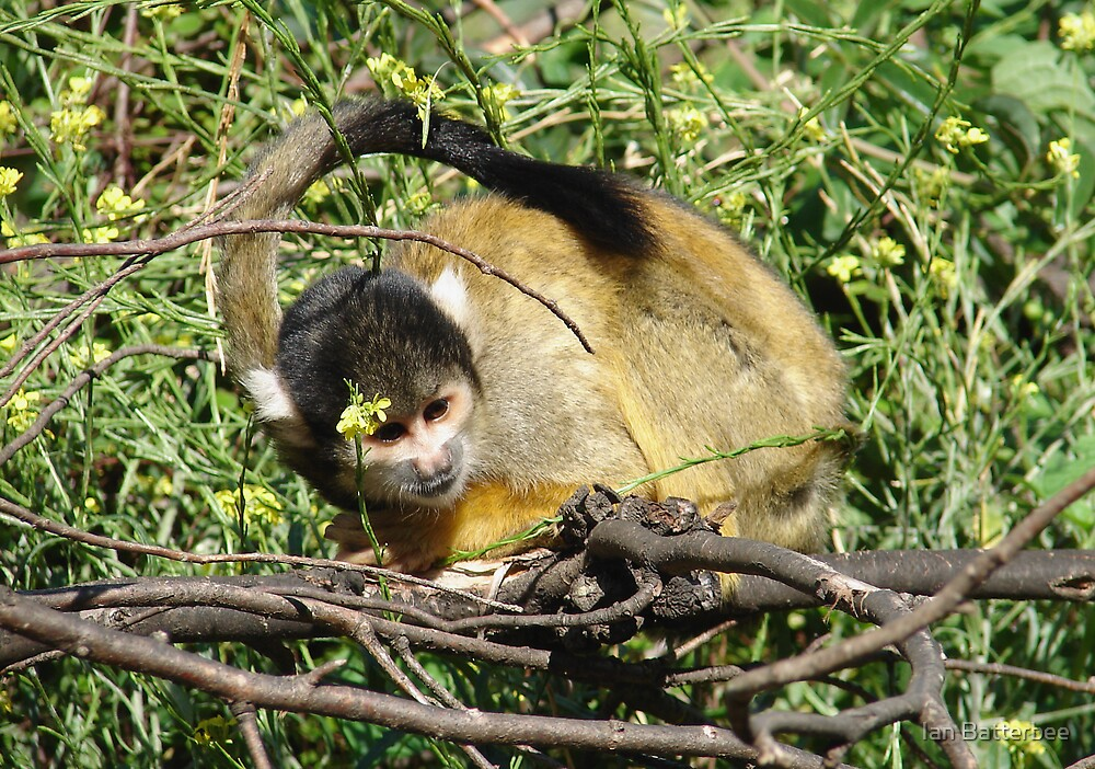 Monkey business by Ian Batterbee