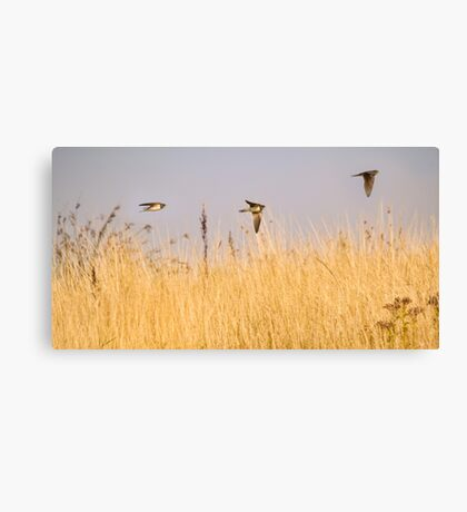 Flight of the swallows Canvas Print
