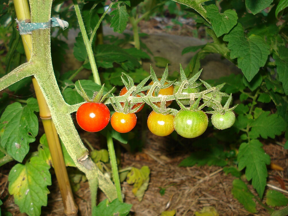 Tomatoes growing on the vine by mangodurian