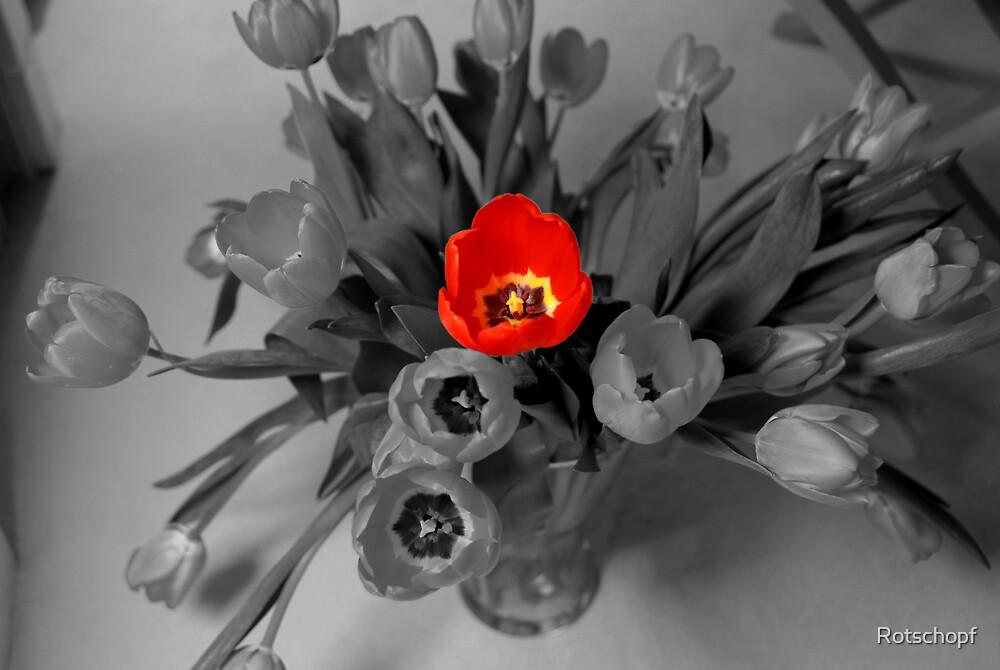 colorkey tulip by Rotschopf
