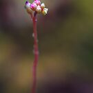 The Drosera Spatulata. For all you carnivores. by alan shapiro