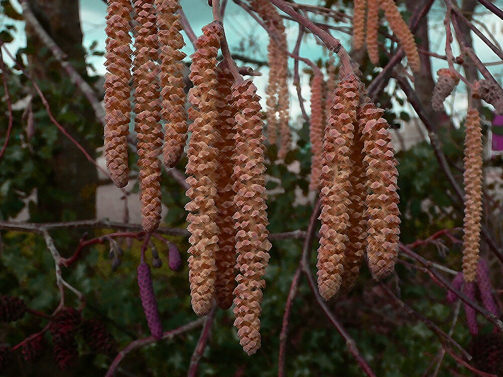 Coloured Catkins by patroc