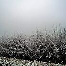 Hoar Frosted Hedge in Fog by ssalt